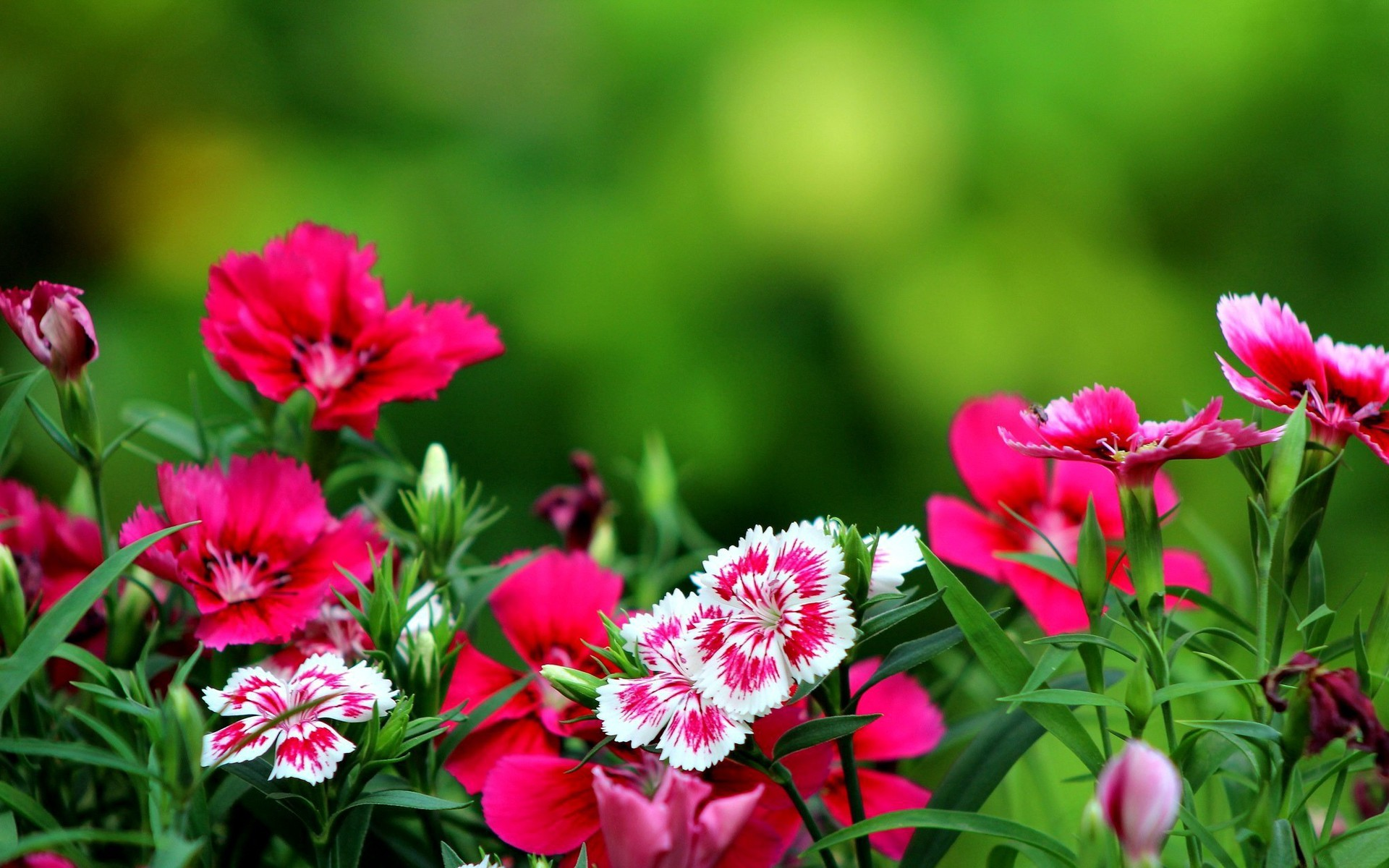 Dark pink flowers wallpaper 2472 pc en - Red flower desktop wallpaper ...