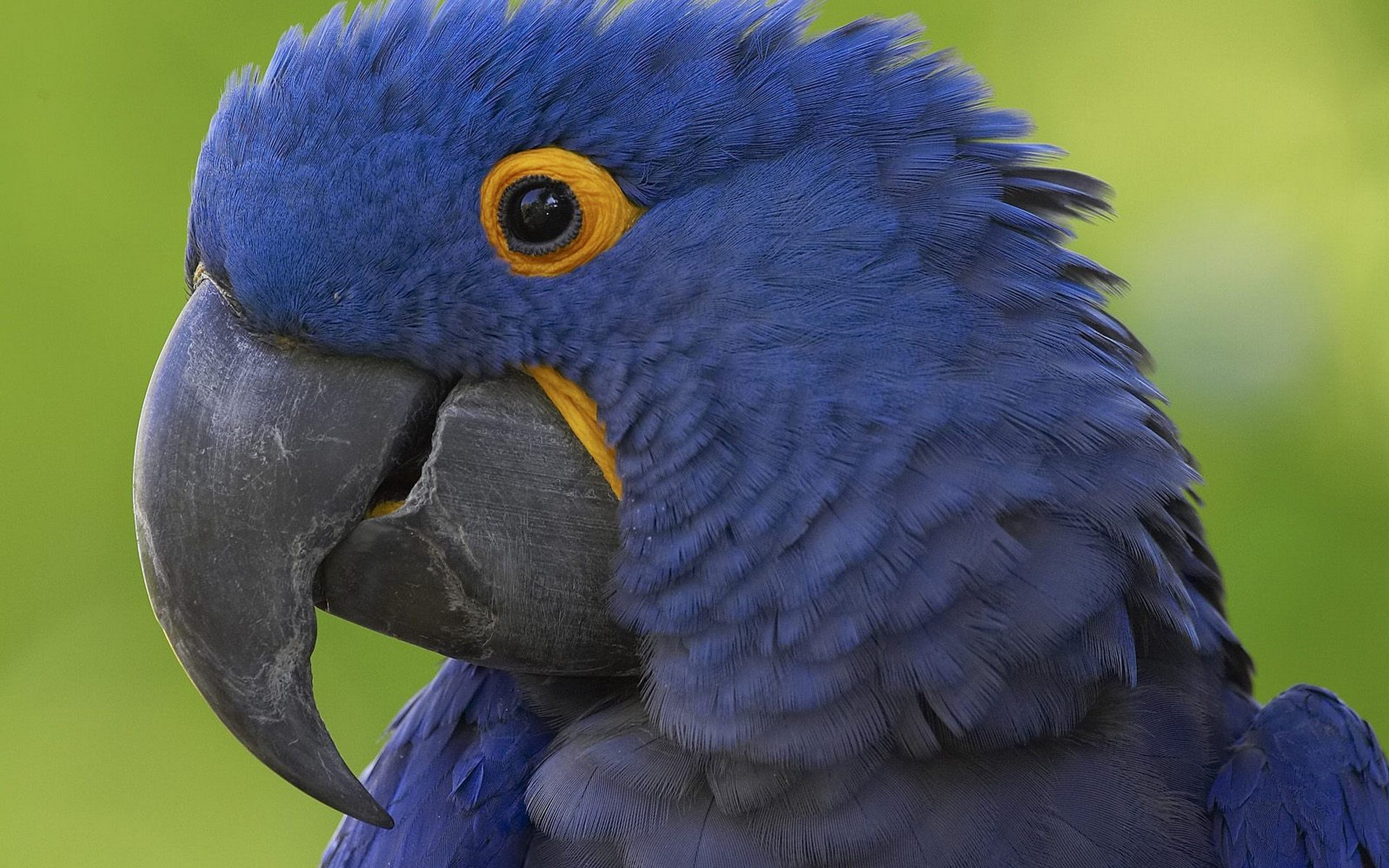 Birds animals parrots hyacinth macaw wallpaper
