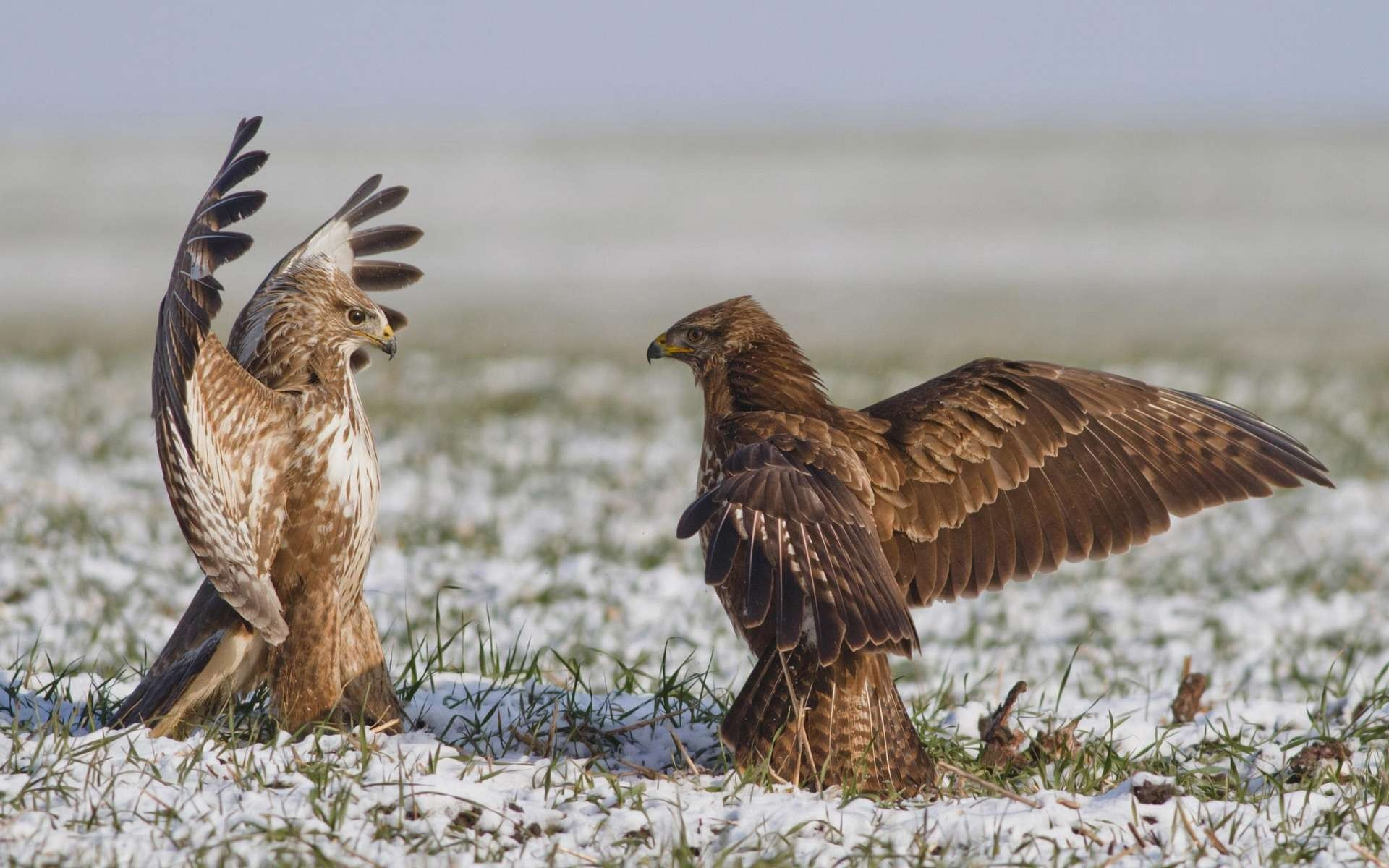 At me bro hawks red tail hawk wallpaper - Red tailed hawk wallpaper ...