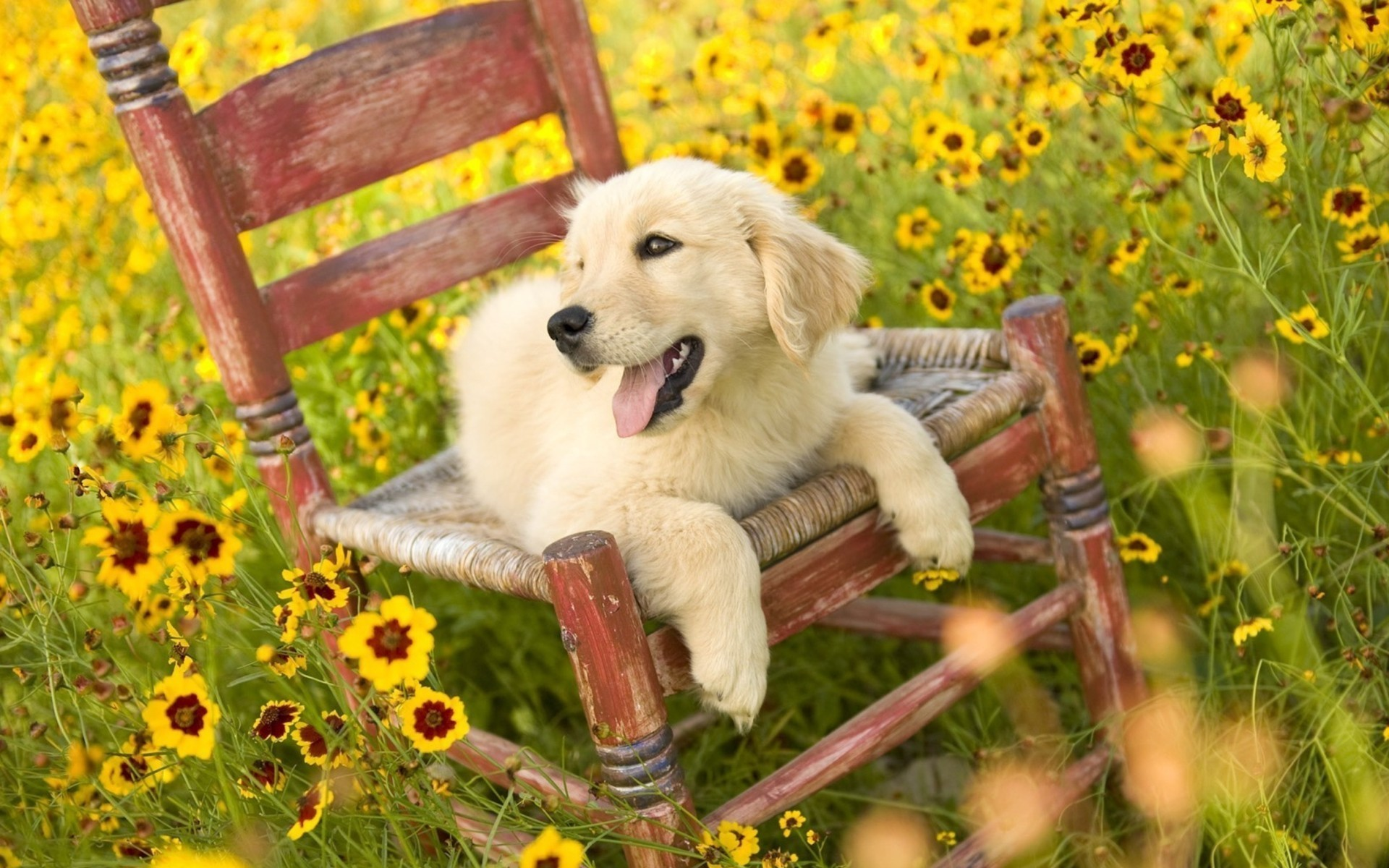 Dogs Golden Retriever Wallpaper