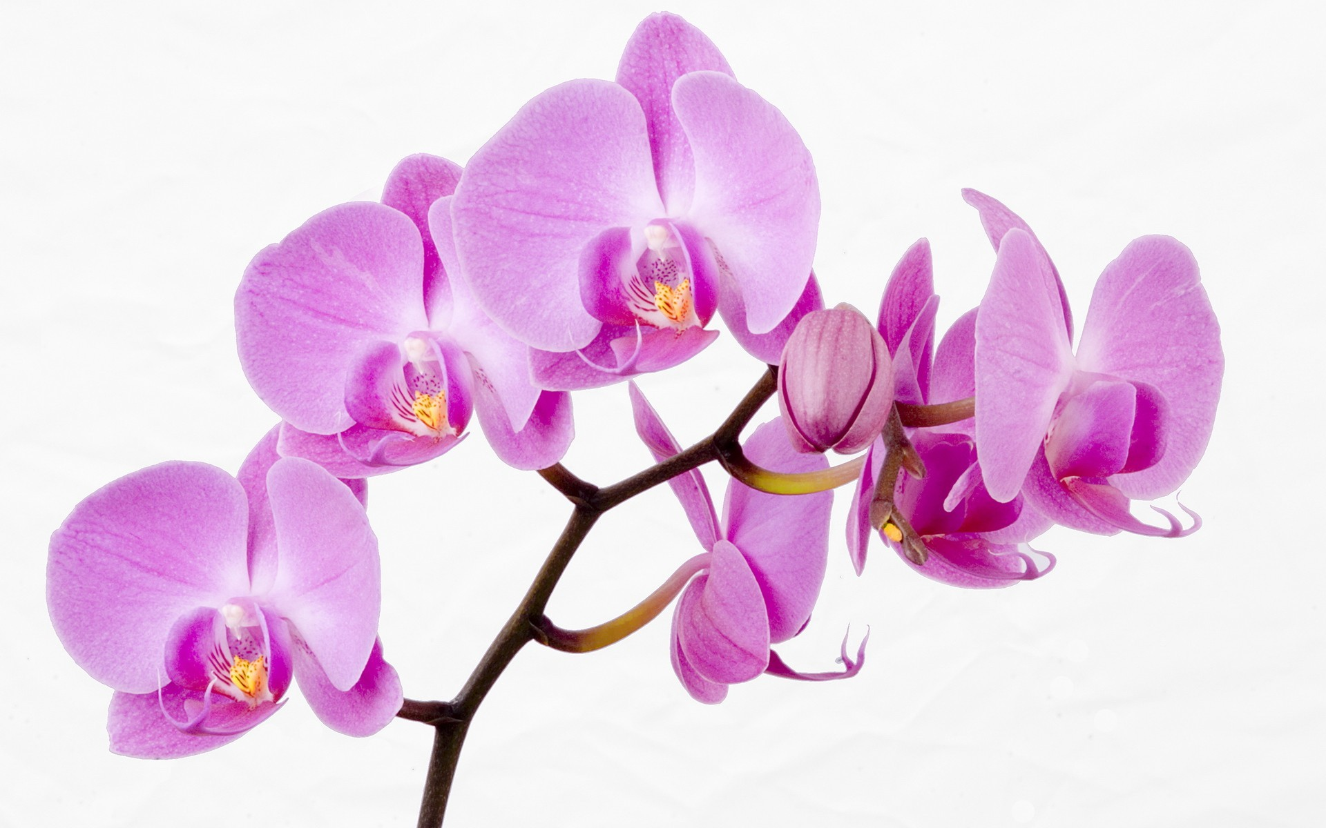 Flowers White Background Orchids Pink Wallpaper Allwallpaper
