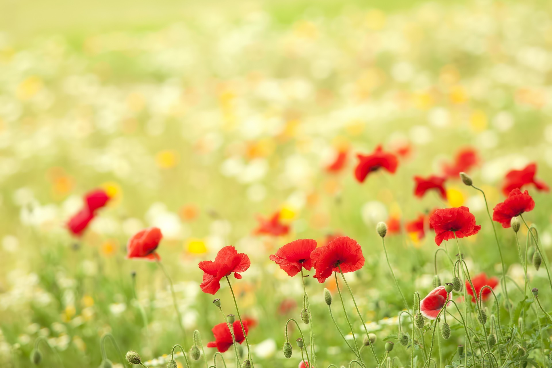 fields poppies wallpaper | allwallpaper.in #8308 | pc | en