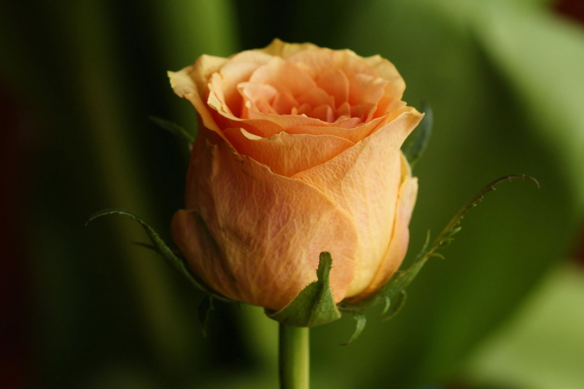 Single Orange Rose Wallpaper