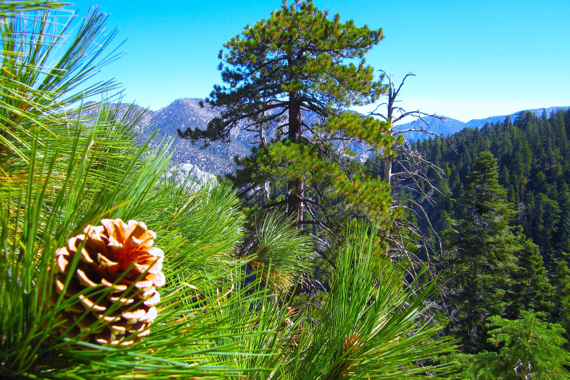 Pine cone and trees on a mountain side wallpaper for Pinecone wallpaper