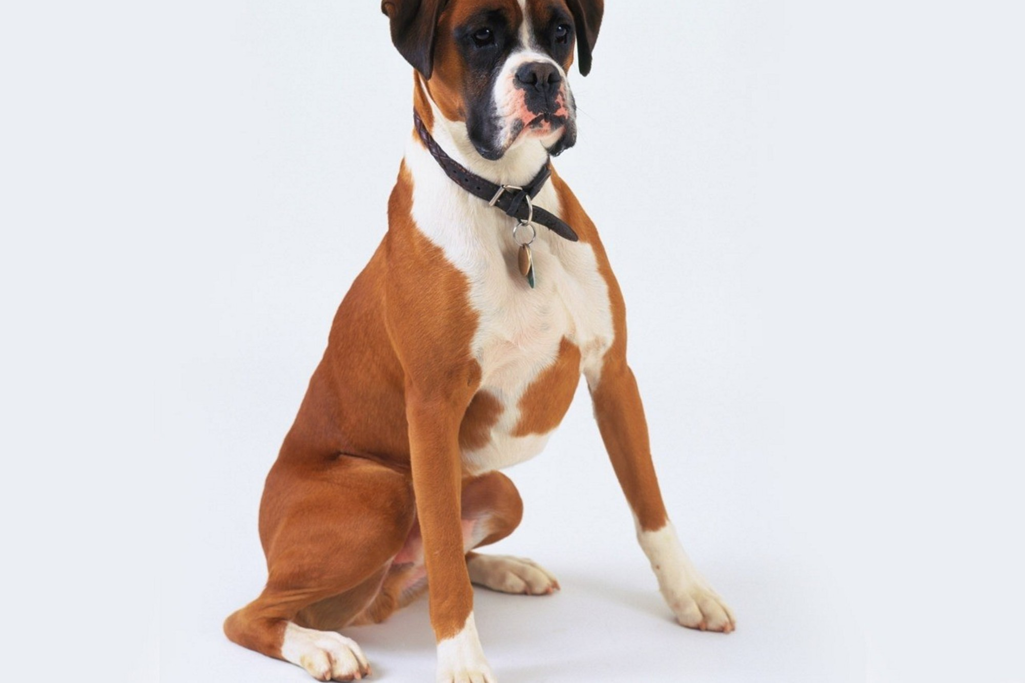 Boxer Dogs Boxing