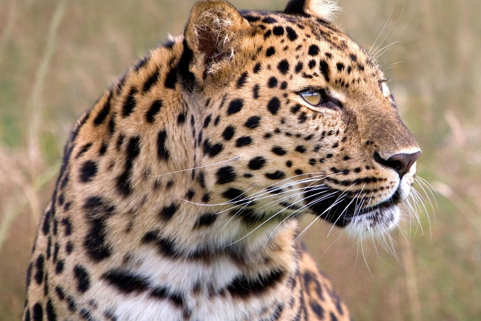 wallpaper amur leopard animal - photo #1