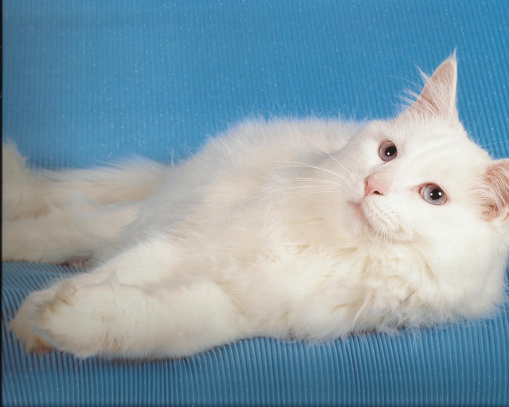 fluffy white cat wallpaper | allwallpaper.in #10759 | pc | en
