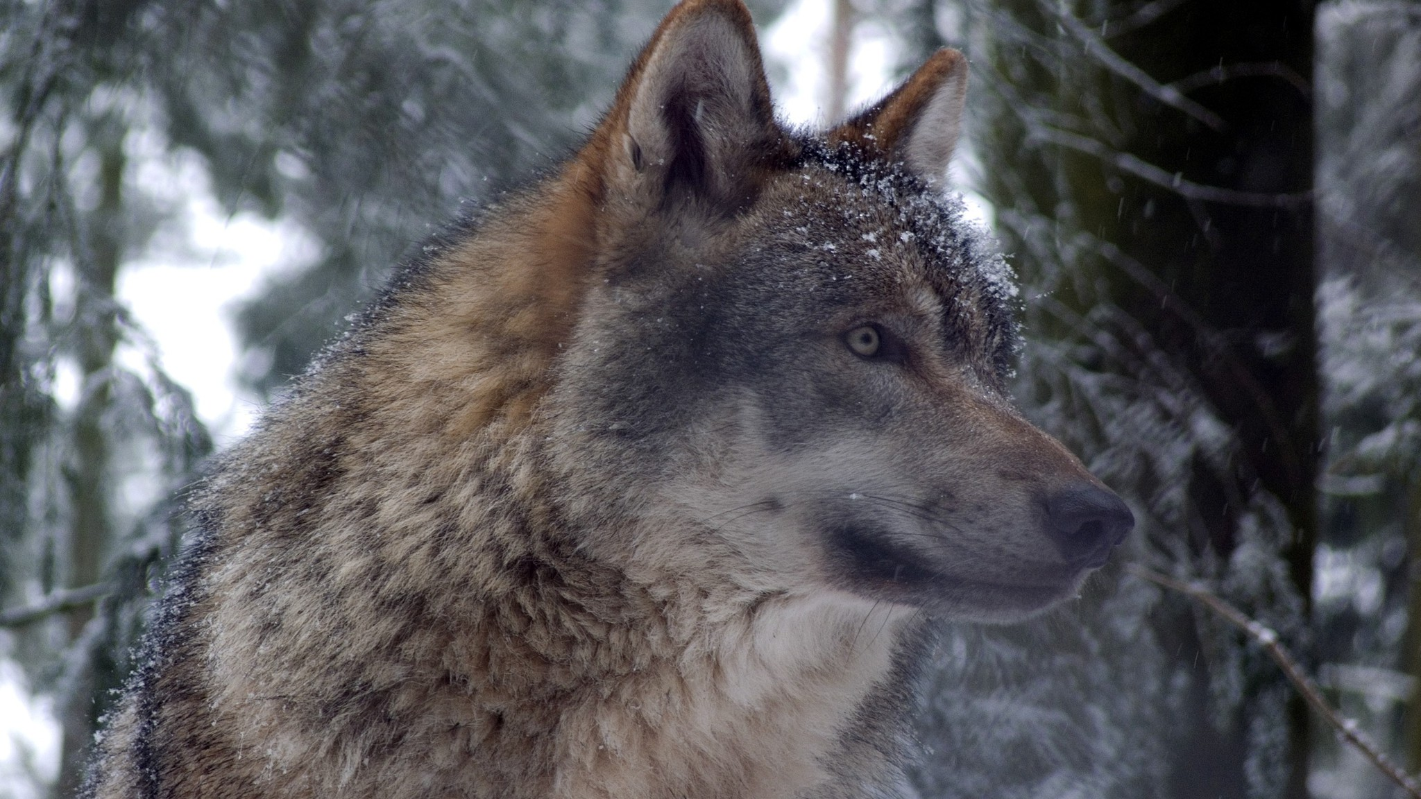 Grey wolf in forest wallpaper | AllWallpaper.in #13648 ...