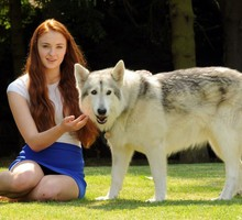 Sophie turner (actress) direwolf wolves HD wallpaper