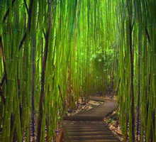 Green landscapes nature bamboo path young HD wallpaper