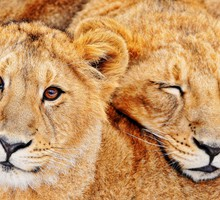 Asiatic lion cubs HD wallpaper