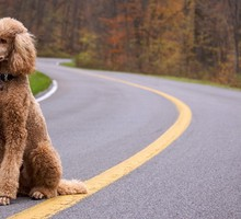 Animals dogs roads poodle HD wallpaper