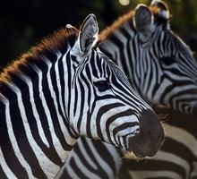 Animaux sauvages africains la vie sauvage  HD wallpaper