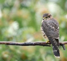 Birds buzzard branch bird of prey HD wallpaper