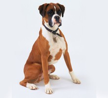 Animals dogs boxer dog HD wallpaper