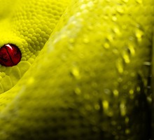 Eyes red reptiles scales snakes HD wallpaper