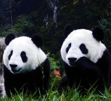 Animaux Nature panda ours  HD wallpaper