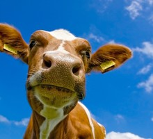 Animaux vaches  HD wallpaper