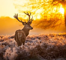 Animaux brouillard cerfs  HD wallpaper