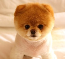 Animaux Chiens animaux boo pomeranian  HD wallpaper
