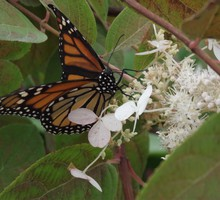 Monarch butterfly perched on white flower HD wallpaper