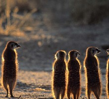 monde animal LUMINOSCOPES suricates  HD wallpaper