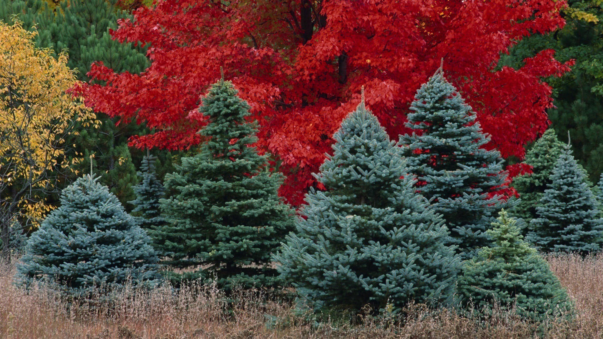 Pine Trees In Forest Wallpaper