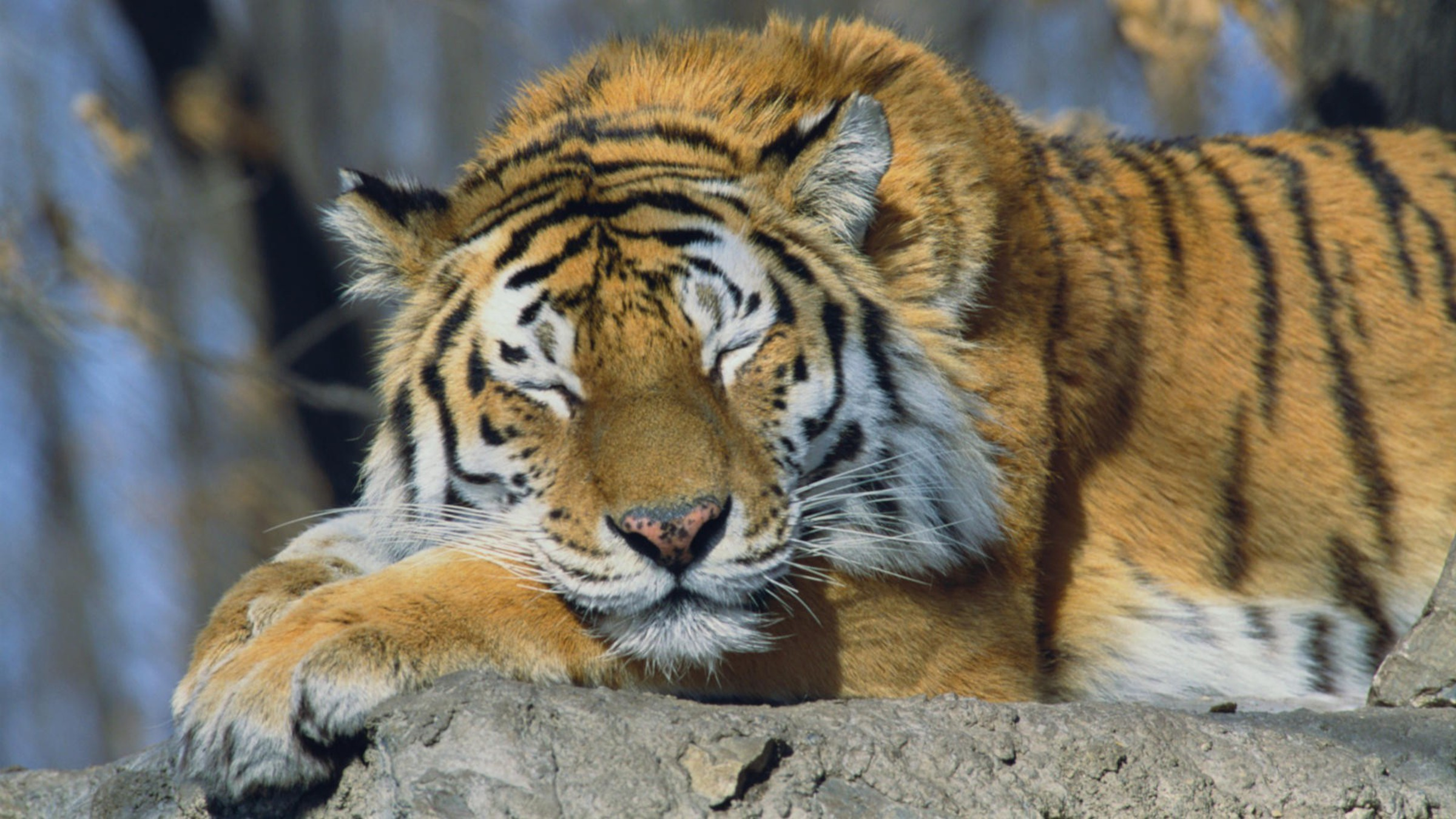 russia siberian tiger animals sleeping tigers wallpaper