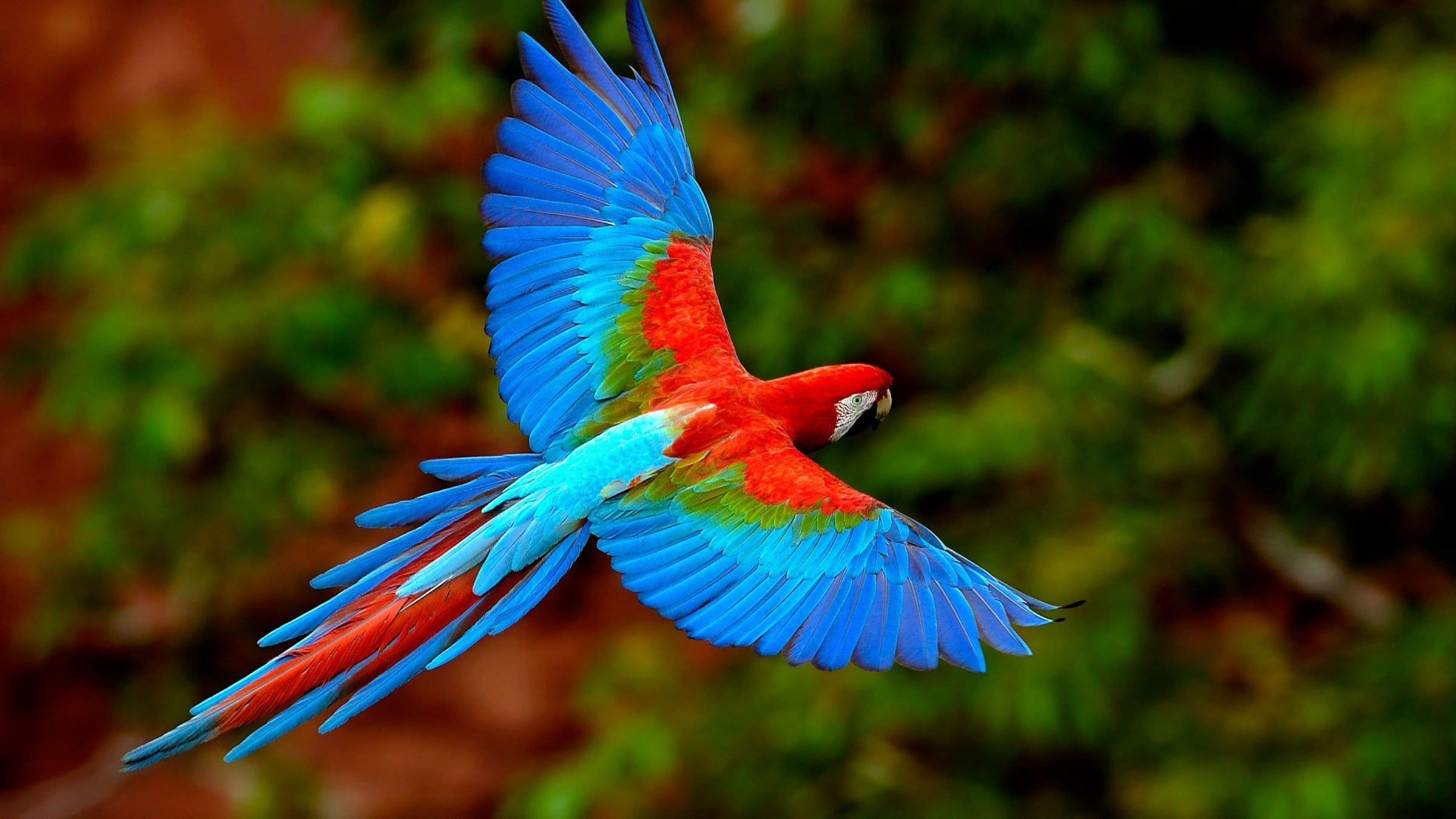 Red Macaw Parrot Flying Scarlet macaws birds f...