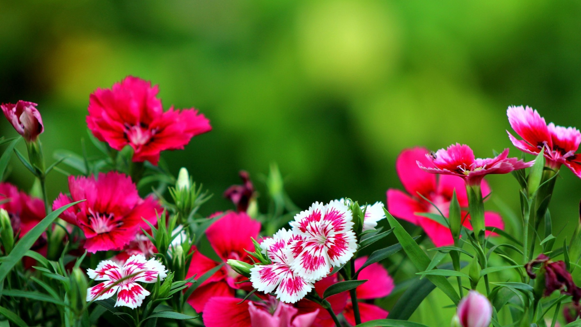 Dark pink flowers wallpaper | AllWallpaper.in #2472 | PC | en