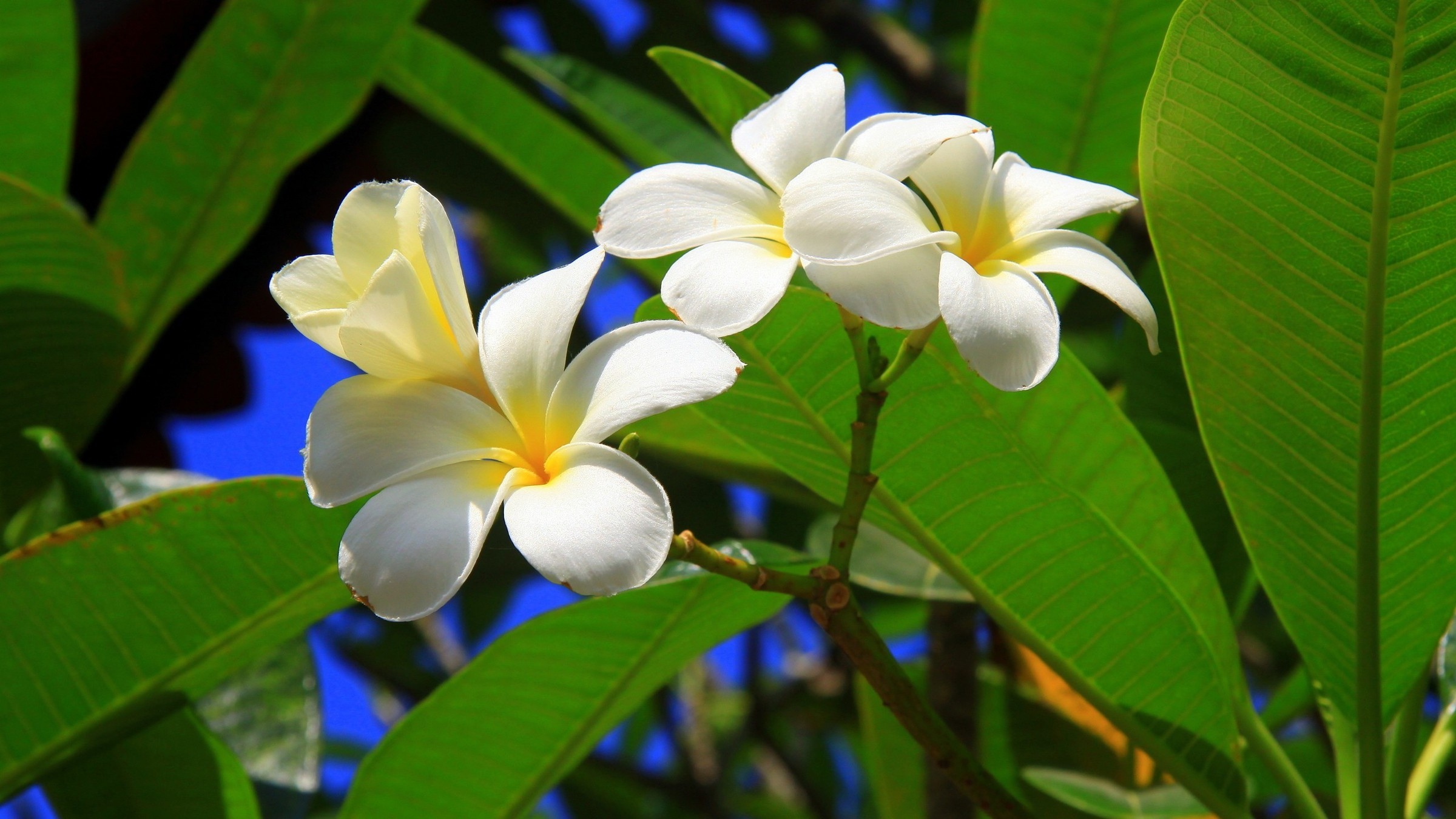 White flowers names list with pictures gallery fresh lotus flowers flowers plants plumeria white wallpaper allwallpaper 3021 pc mightylinksfo