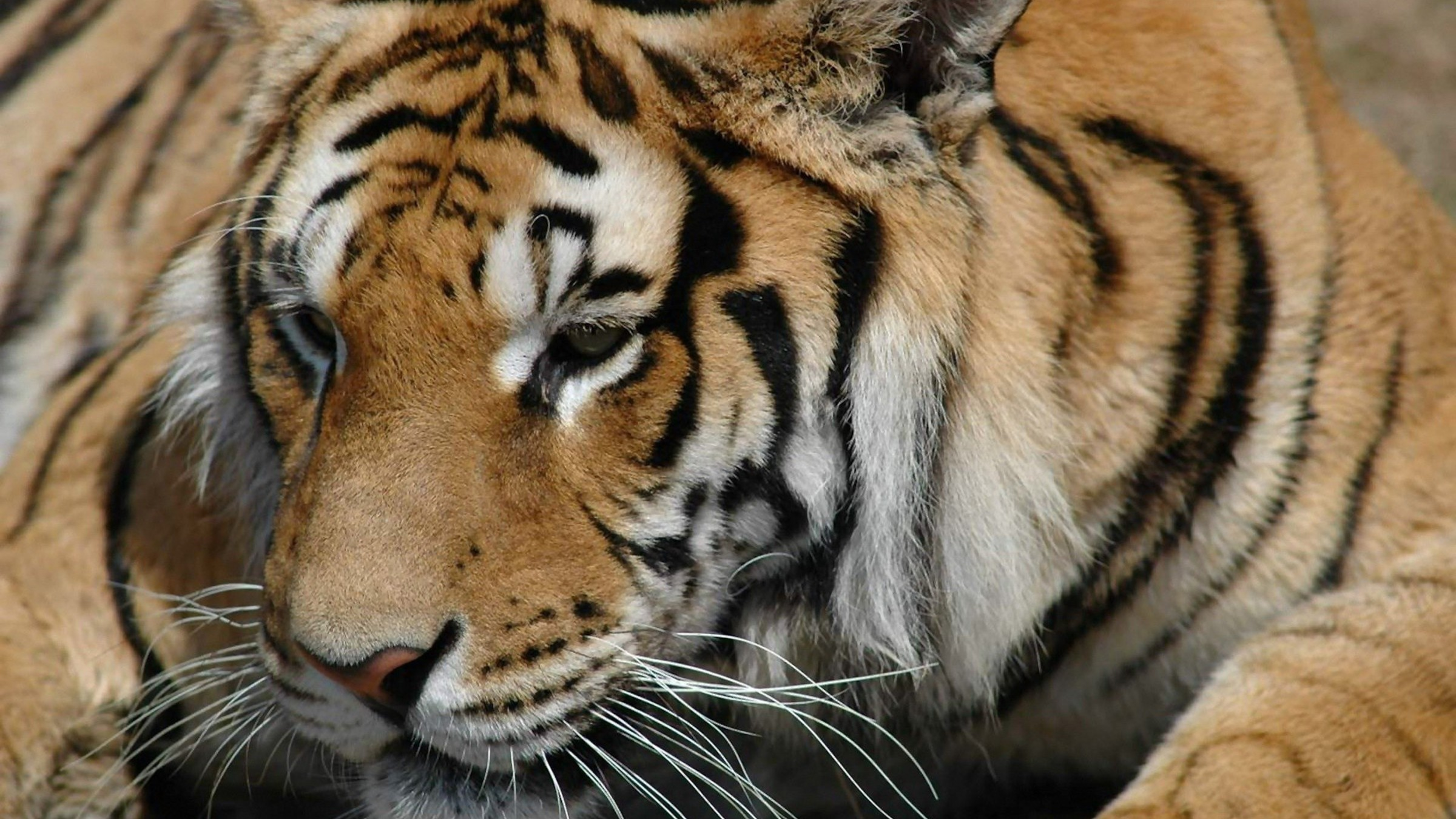 the siberian tiger wallpaper | allwallpaper.in #7889 | pc | en