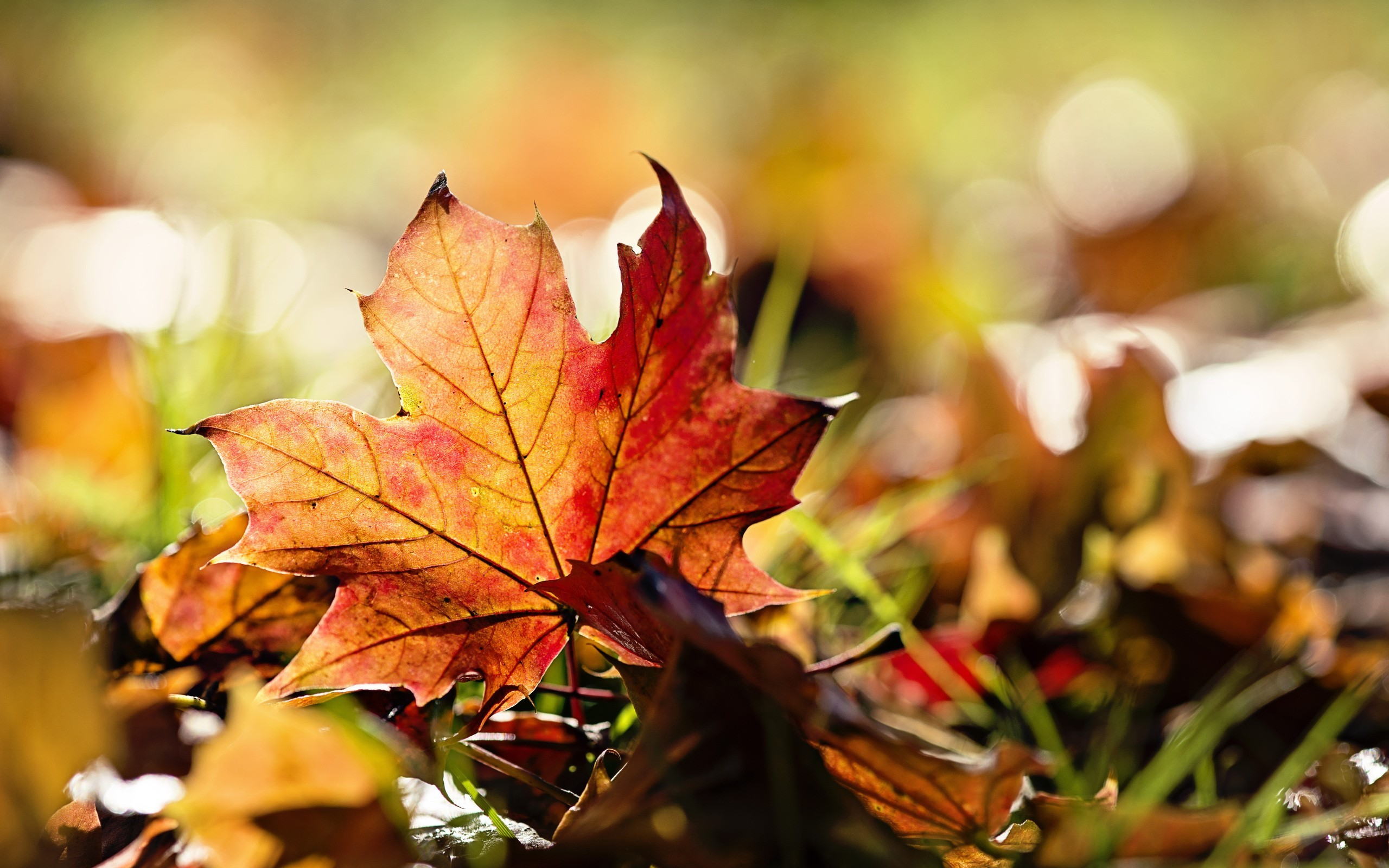 Nature leaves maple leaf autumn wallpaper