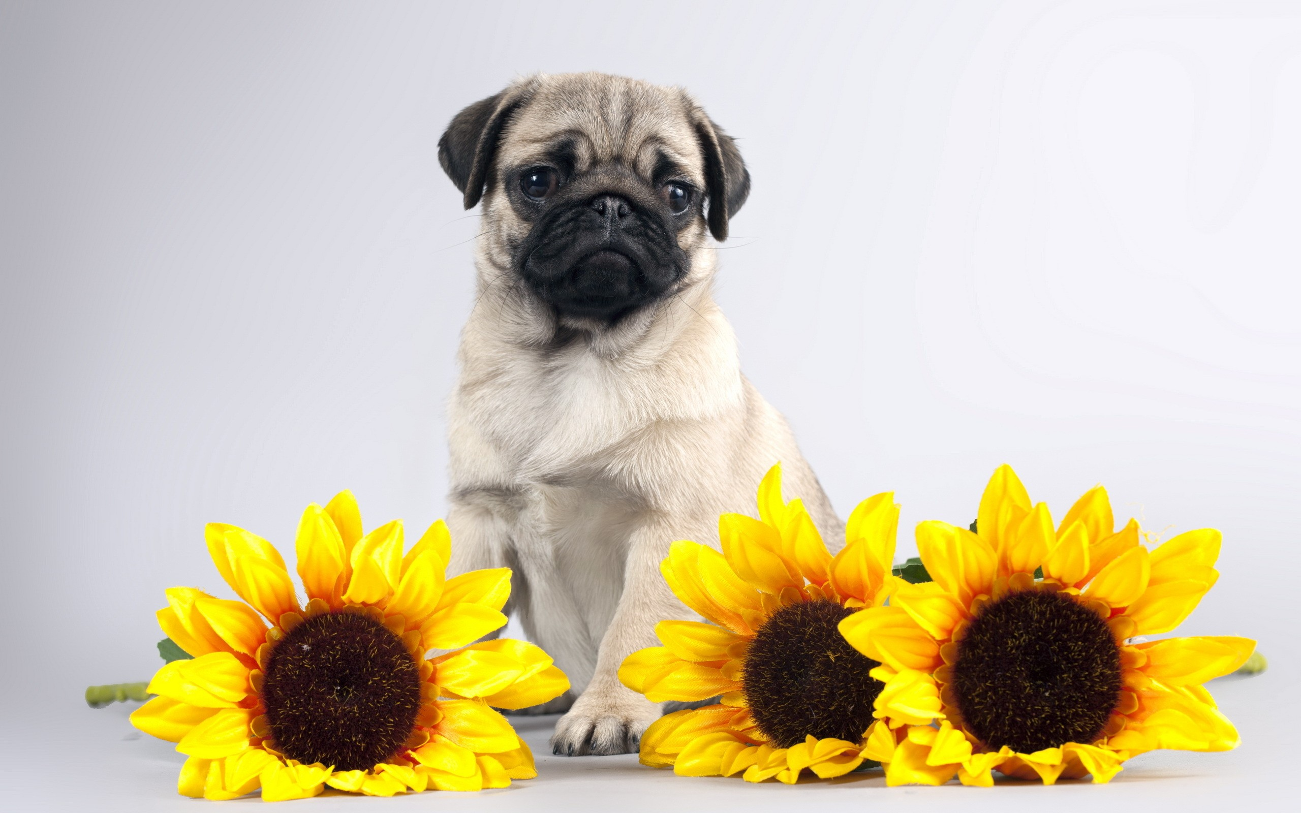 Pug and sunflowers wallpaper