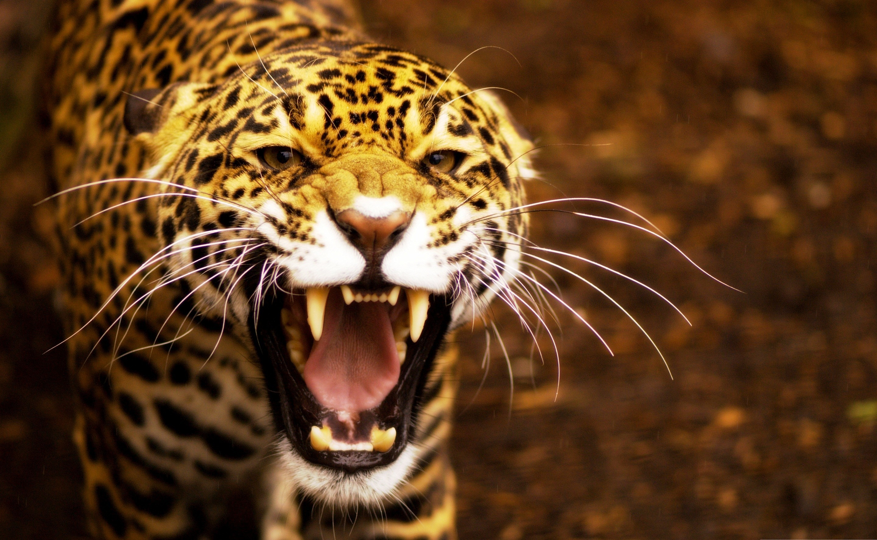 Tiere jaguar wallpaper 9282 pc de - Jaguar animal hd wallpapers ...