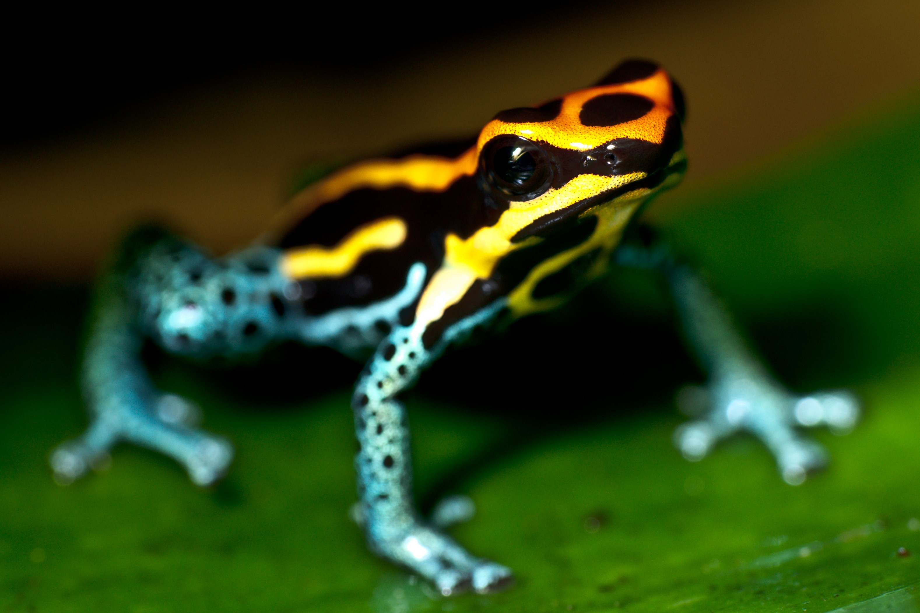 Poison dart frog photo Rainmaker Costa Rica - River Walk and Canopy Bridge