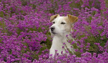 Animals dogs meadows purple flowers HD wallpaper