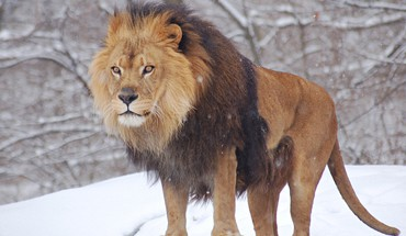 Animals lions nature snow HD wallpaper