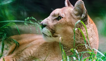 Animals puma HD wallpaper