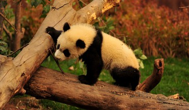 Adorable panda bear HD wallpaper