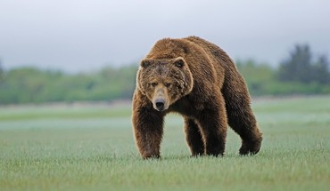 Animals bears wildlife HD wallpaper