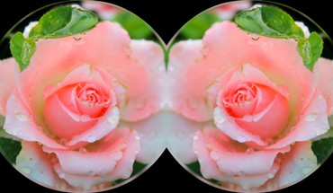 Pink roses collage HD wallpaper