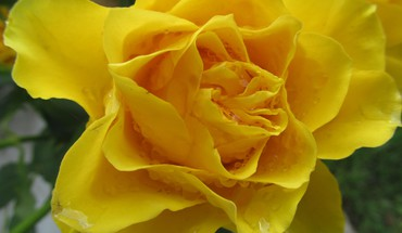 Moist yellow HD wallpaper