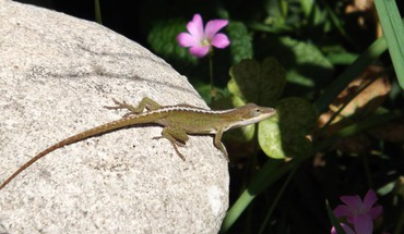 Lizard on rock  HD wallpaper