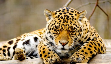 Sleeping leopard HD wallpaper