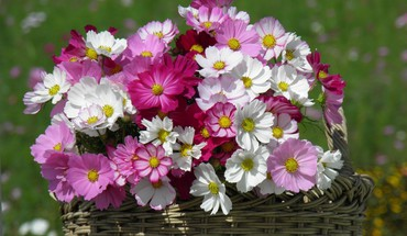 Cosmos in basket HD wallpaper