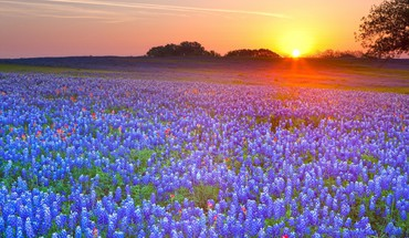 Sunset landscapes fields texas bluebonnet HD wallpaper
