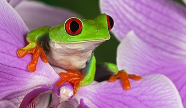 Flowers frogs red-eyed tree frog amphibians HD wallpaper