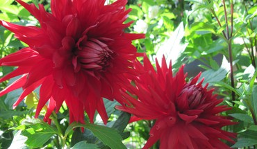 Twins red dahlia HD wallpaper
