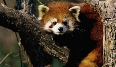 Animals red pandas HD wallpaper